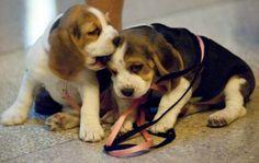 Beagles!!!!!