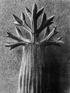 Karl Blossfeldt, Seseli gummiferum (Umbelliferae), Gummy meadow saxifrage, terminal growth