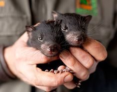 Tasmanian Devil babies. They are an endangered species due to a tragic contagious cancer. Scientists are trying desperately to save the species.  Photo Credit: Andrew Gregory
