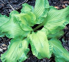 """'Embroidery' - Unique among Hosta on account of its strongly corrugated (""""Embroidered"""") mid-green leaf margins which contrast to the relatively smooth and lighter green center. Flowers near white from late July until mid August."""