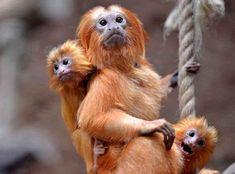 mico leao dourado filhotes - Pesquisa Google