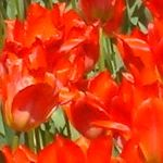 Bright orange and red tulips [Pic 7 of 9] ♥ Pinterest.com/Hacks