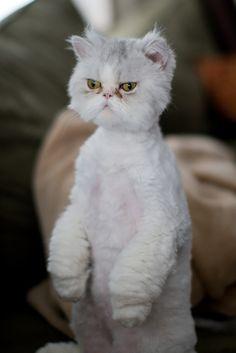 Grooming persian cats