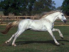 Características del caballo andaluz.