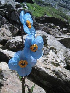 Blue Poppy ~ Beauty from the Valley of Flowers, National Park , India