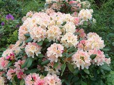 Rhododendron 'Casanova'