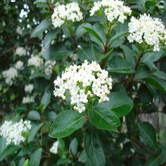 Viburnum tinus is an evergreen shrub that is easy to grow and adds interest to the garden all year round. Growing Viburnum tinus will bring yearlong color to the garden. Open Flower, Evergreen Plants, Plants, Viburnum, Perennials, Woodland Garden, White Gardens, Screen Plants, Garden