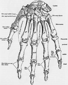 Hand anatomy bones display pinterest anatomy bones hand human skeleton hand diagrammed ccuart Images
