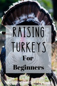 Have you ever wanted to raise your own turkey for Thanksgiving? Here is a beginner's guide to raising healthy turkeys. Pet Turkey, Turkey Farm, Baby Turkey, Wild Turkey, Urban Chickens, Baby Chickens, Chickens Backyard, Raising Ducks, Raising Chickens
