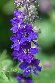 Larkspur 'Imperial Blue'