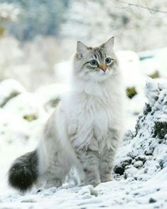 Pretty Cats, Beautiful Cats, Animals Beautiful, Cute Cats And Kittens, Kittens Cutest, Cute Baby Animals, Funny Animals, Funny Cats, Animals Images