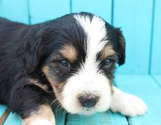 10 Best Bernedoodle Puppy Puppies Dogs For Sale Images