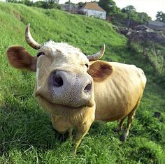 What a divine bovine!