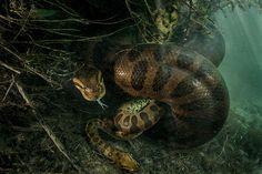 L'anaconda femmina che stritola il maschio