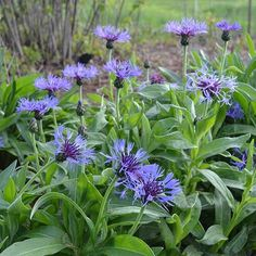 Mountain Bluet (Centaurea montana)