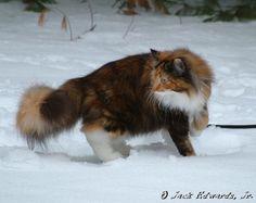 Norwegian Forest Cat - such beauty!