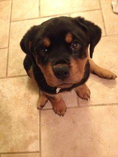 Chevy  - Rottweiler puppy