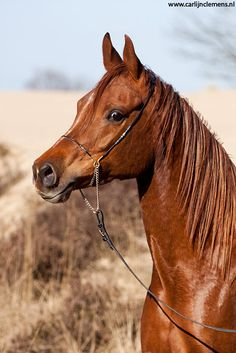 Arabian stallion - Equine photography