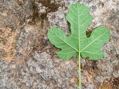 Fig leaf 그림 잎 잎 무화과나무잎