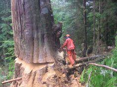 Bud Saulsgiver:     Chainsaws  -felling a nice Red Cedar. A classic West Coast logging scene.