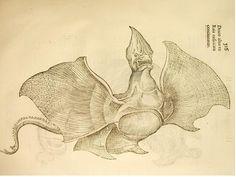 """'Draco alter ex Raia exsiccate concinnatus'. Dieser von Ulisse Aldrovandi beschriebene Drache sieht einem Rochen sehr ähnlich, weshalb schon Aldrovandi selbst den Verdacht hegte, sein ausgestopftes Exemplar sei eine aus einem toten Rochen gebastelte Fälschung. Solche Fälschungen wurden oft als Basilisken verkauft, weil echte Basilisken selten sind. Es ist nicht viel über den Draco alter ex raia exsiccata concinnatus bekannt, jedoch wurden im selben Kapitel der """"Historia monstrorum"""""""