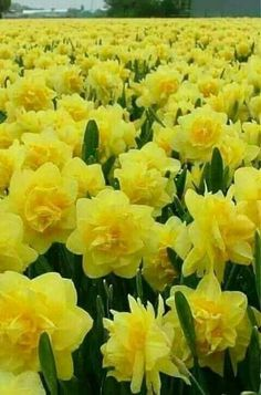 Spring Fields Of Narcissus Flowers! A fun addition to any floral arrangement. Burst Of Golden Yellow! Fauna and Flora are … Daffodil Bulbs, Bulb Flowers, Daffodils, Flower Pots, Cactus Flower, Daffodil Flowers, Exotic Flowers, Amazing Flowers, Yellow Flowers