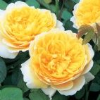 Charlotte- Roses for Cold zones - David Austin Roses - USA