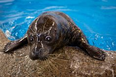 Feisty the seal, a Duluth zoo refugee