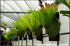 Dream Garden 3: Samambaia Chifre de Veado / Platycerium Wandae