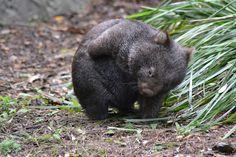I want a Wombat. Happy Animals, Animals And Pets, Cute Animals, Fired Earth, Tasmania, Australia Animals, Quokka, Wombat, My Spirit Animal