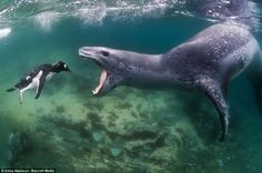 Staring death in the face: The penguin comes face to face with its predator, an enormous leopard seal, in the waters of Port Lockroy off the Antarctic Peninsula