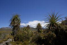 These are Richea pandanifolia, also known as Pandani- a native flowering plant unique to Tasmania. This was taken at Cradle Mountain.