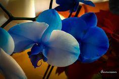 Proyecto 365 Anmersan: Foto 35-365 orquídea azul. Preciosa orquídea azul. La foto del día para ella. Su belleza efímera que perdure para siempre en esta foto.