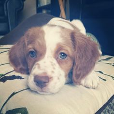 Ginger 8 weeks old. Brittany Spaniel.