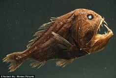 Fangtooth (Anoplogaster cornuta) has bony, hard body, unlike most deep sea fish, San Diego, California Underwater Caves, Underwater Creatures, Underwater World, Ugly Animals, Deep Sea Creatures, Fishing World, Sea Dweller, Deep Sea Fishing, Mundo Animal