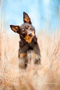Australian Kelpie Dog Breed Information, Beliebte Bilder - Dogs - Hunde West Highland Terrier, I Love Dogs, Cute Dogs, Funny Dogs, Australian Shepherds, Australian Shepherd Puppies, Herding Dogs, Mundo Animal, Hamsters