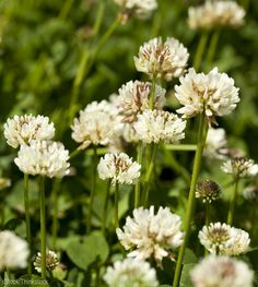 Up until the 1950s, white clover was included in every lawn seed mixture and having a lush, clover-infused lawn was thing of pride—especially for farmers. These days, with the heavy usage of lawn weed killers, clover is seen as an enemy of turf grass.