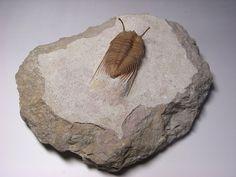シベレ、Cybele三葉虫の化石の販売【化石seven】