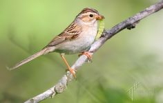 sparrows of alberta - I get hordes of these greedy little beggars