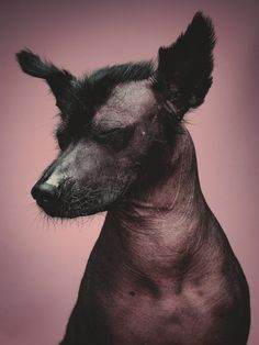 The Ancient Aztecs believed that the Mexican hairless dog was a gift from the gods to protect the human race and help them reach the Underworld after death. Mexican Hairless Dog, Animals And Pets, Cute Animals, Weimaraner, Dog Portraits, Dog Photos, My Animal, Dog Friends, Cat Breeds
