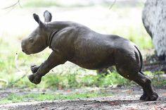Aria the baby black rhino plays in her enclosure at Zoo Miami #BABYANIMALS