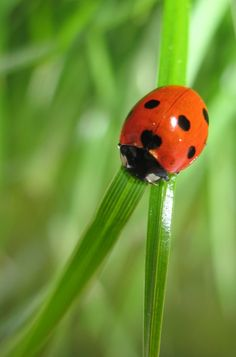 Ladybug that I photographed in my garden.
