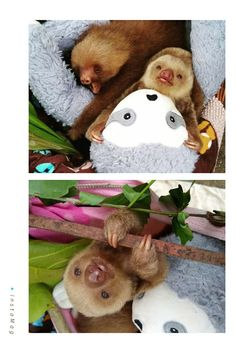 Two Toed Sloth, Sloths, Teddy Bear, Toys, Animals, Activity Toys, Animales, Animaux, Clearance Toys