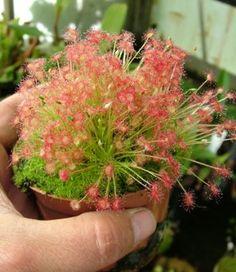 Sundew Carnivorous Plants. DS017 Drosera paradoxa