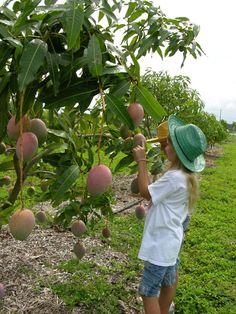 How to Grow a Mango Tree | Fairchild Tropical Botanical Garden