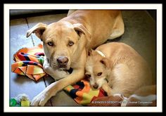 STILL THERE!!! WG218 - A3573047 1 YR M TAN / AM PIT BULL TER/MIX STRAY Intake Date: 2/18/2015 S5 TEM-ANI At risk for euthanasia at 5 AM, Monday, Feb. 23rd.... Maricopa County Animal Care and Control West. https://www.facebook.com/FriendsOfArizonaShelterAnimals/photos/pb.258178804233768.-2207520000.1424716777./936061286445513/?type=3&theater