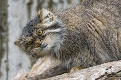 Funny Agrunia, the female Pallas cat, with a funny expression