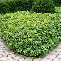 Vijver en Tuincentrum Pelckmans: Pachysandra terminalis.Groenblijvende, kruipende vaste plant. Vlakke bladeren in trossen aan toppen van korte stengels. In de vroege zomer aren met zeer kleine, witte bloemen, soms met een roze gloed. Uitstekende bodembedekker op vochtige en droge plekken. Verkiest een plaats in de schaduw of halfschaduw maar kan ook in de zon. Hoogte ca.15 en breedte ca.25cm. Deze planten worden ca.25cm uit elkaar geplant of ca.11 planten/m²