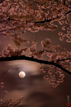 Cherry blossoms and moonlight, Japan