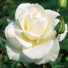 Beautiful Roses, White Flowers, Red Roses, Beautiful Flowers, Cut Flowers, Exotic Flowers, Summer Flowers, Yellow Roses, Purple Flowers
